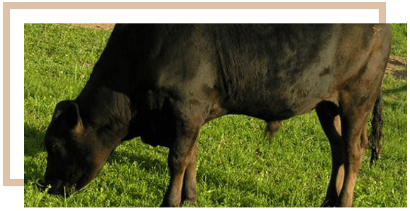 Stone Ridge Cattle Company, LLC